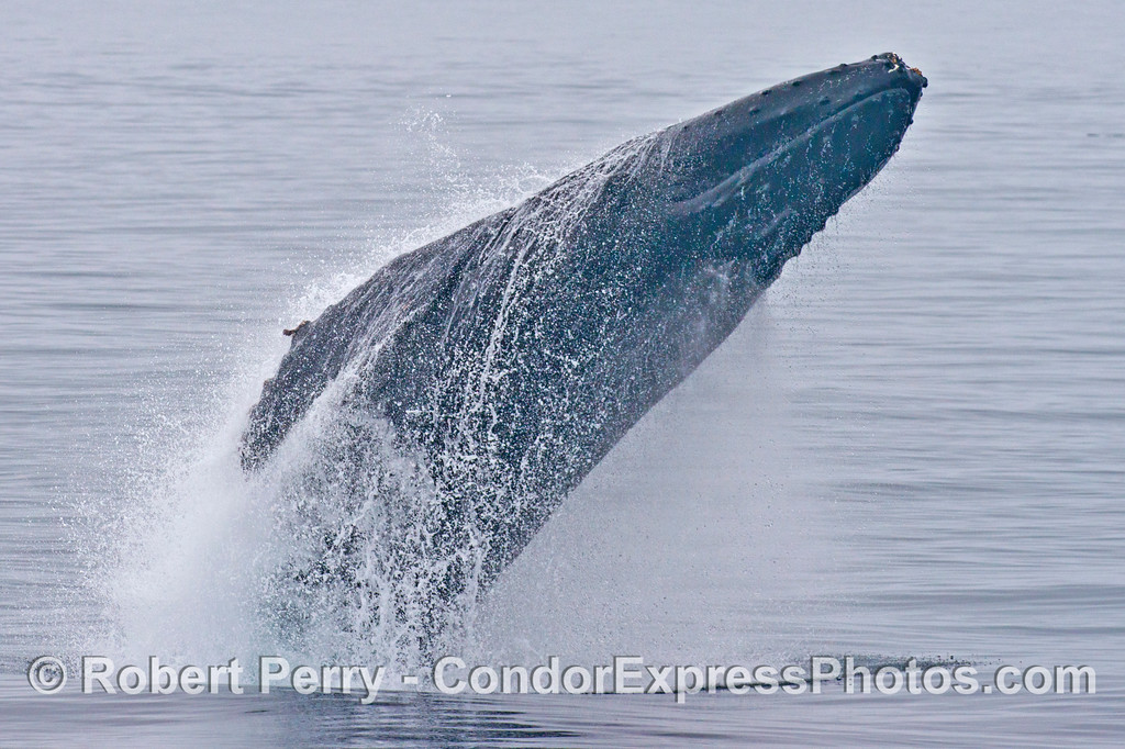 Breach sequence image 2 of 5:  A breaching humpback whale (<em>Megaptera novaeangliae</em>).