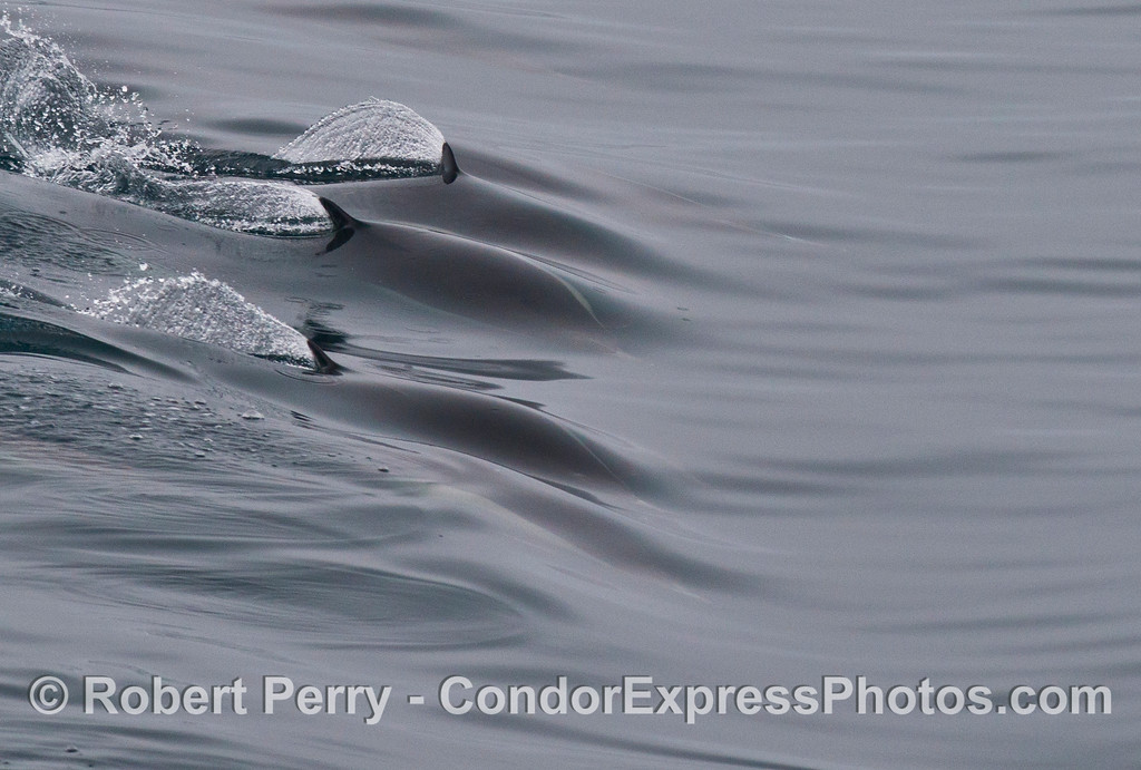 The streamlined and hydrodynamic shape of these common dolphins (<em>Delphinus capensis</em>) is illustrated as they ride a wave without any turbulence (except from the dorsal fins).