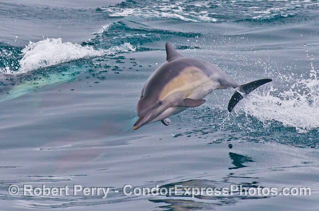 A high flying common dolphin (<em>Delphinus capensis</em>).