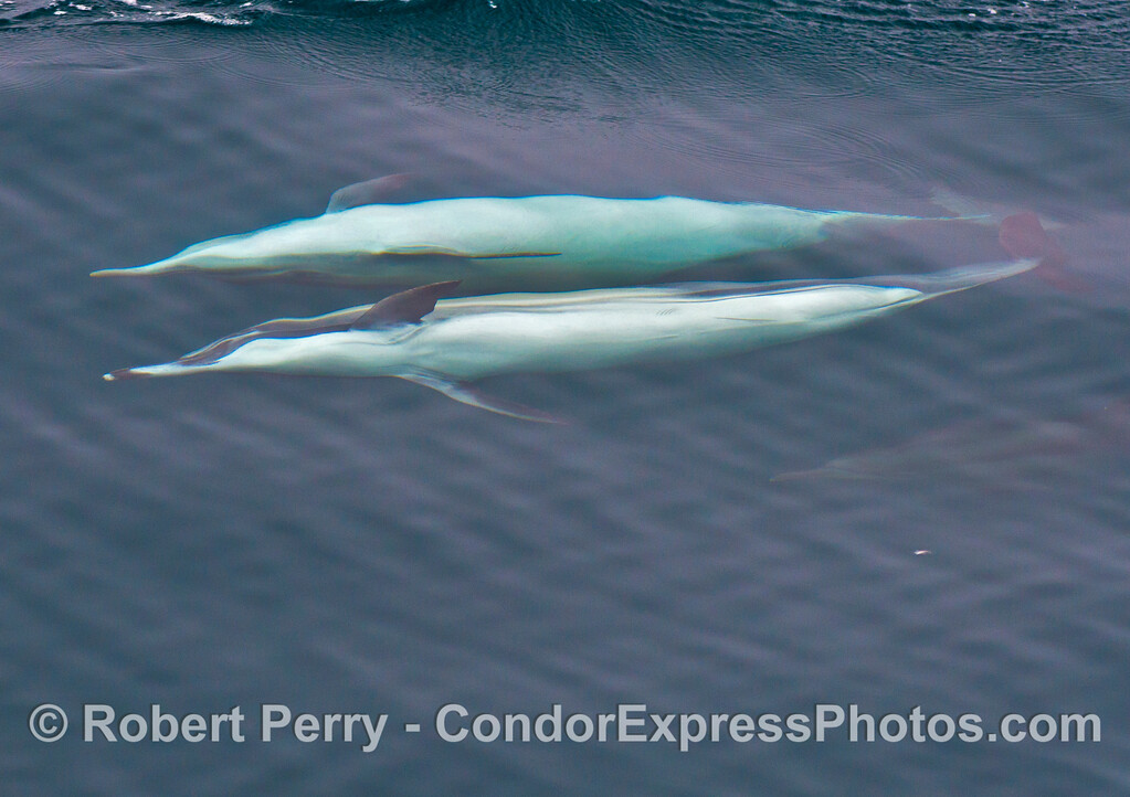 Image 1 of 2:  Two common dolphins (<em>Delphinus capensis</em>) upside down chasing anchovies.