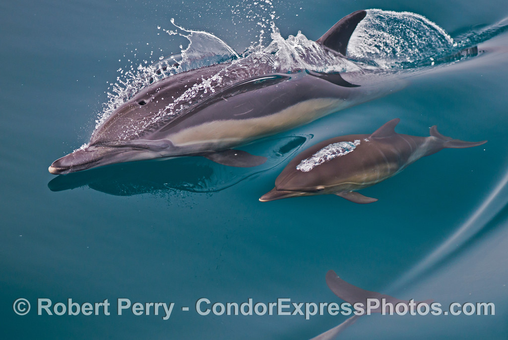 Mother and calf - common dolphins (<em>Delphinus capensis</em>).