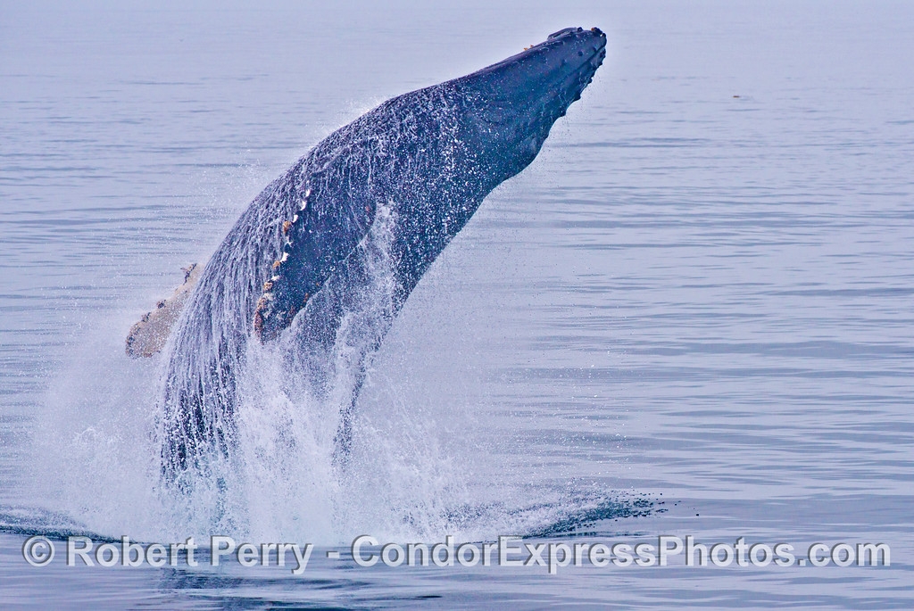 Breach sequence image 1 of 3:  A humpback whale (<em>Megaptera novaeangliae</em>) arches its back as it breaches.