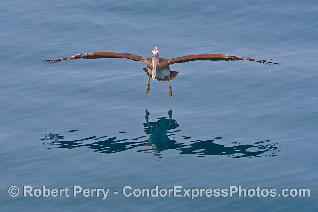 A young brown pelican comes in for a landing (Pelecanus occidentalis).