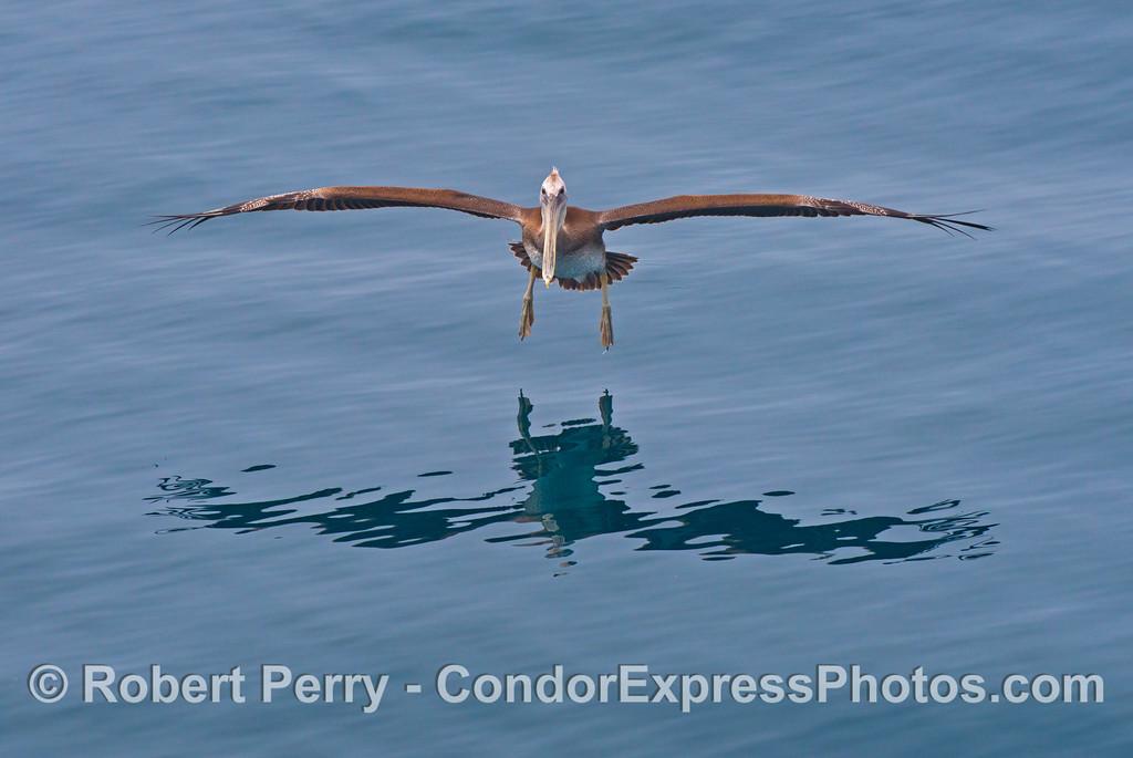 A young brown pelican comes in for a landing (<em>Pelecanus occidentalis</em>).