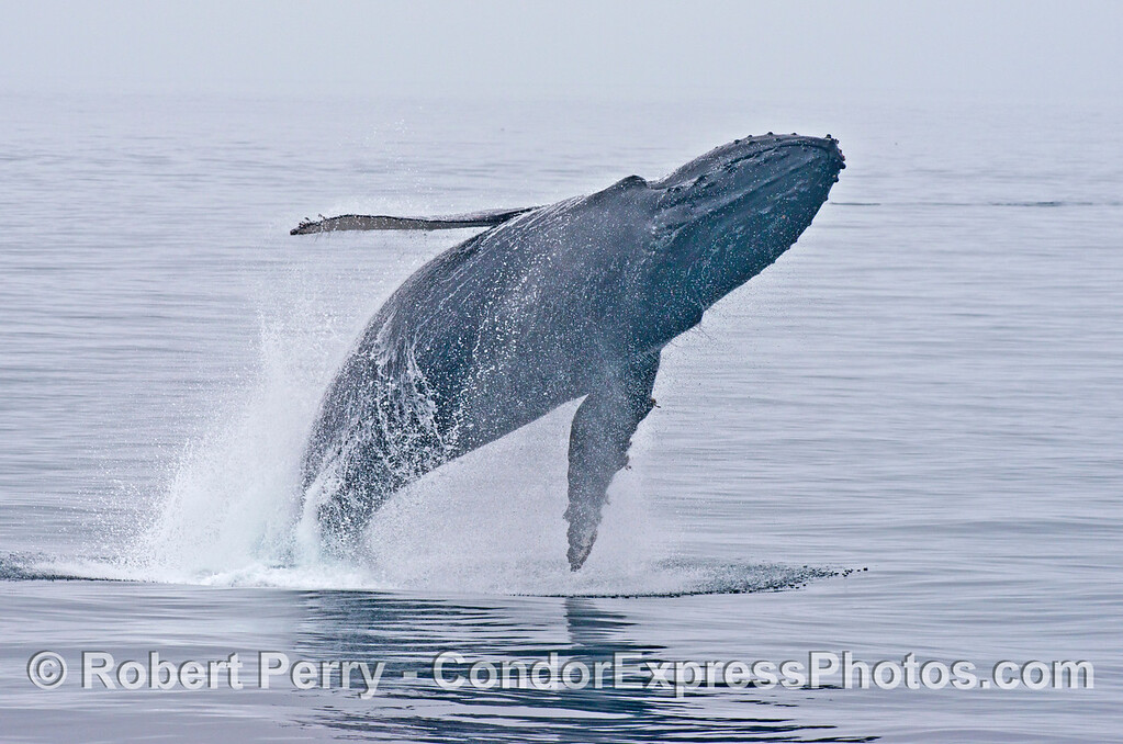 Breach sequence image 3 of 5:  Flying like a bird - a breaching humpback whale (<em>Megaptera novaeangliae</em>).