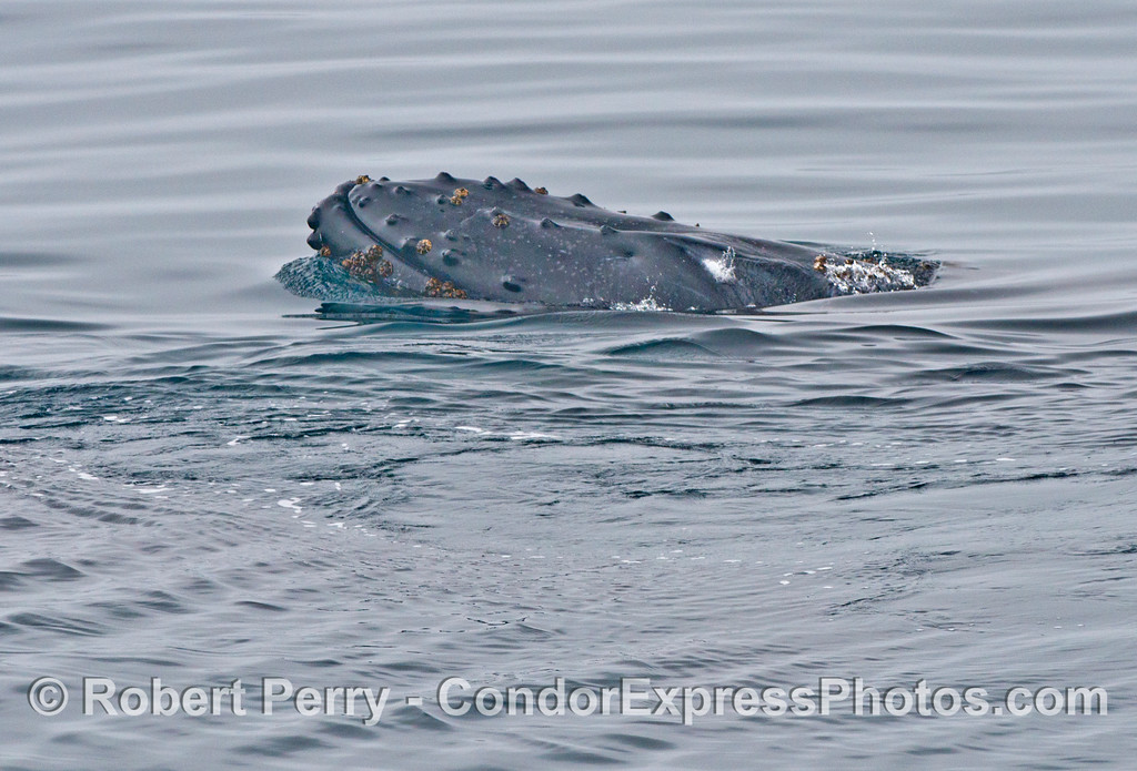 A humpback whale (<em>Megaptera novaeangliae</em>) lifts its head.
