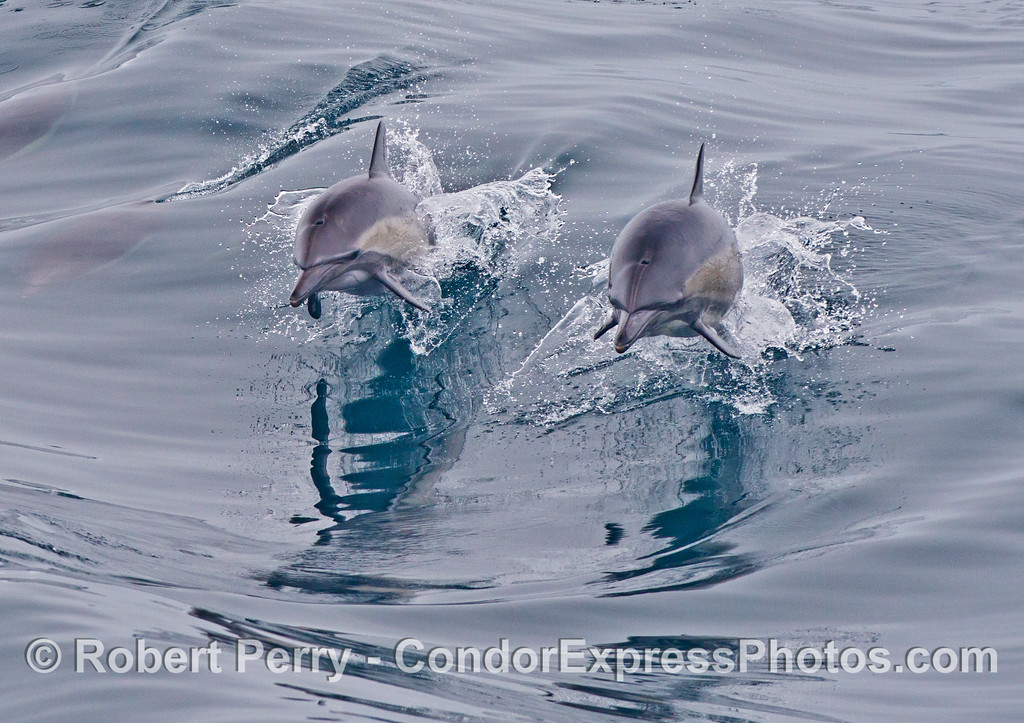 A pair of leaping common dolphins (<em>Delphinus capensis</em>).