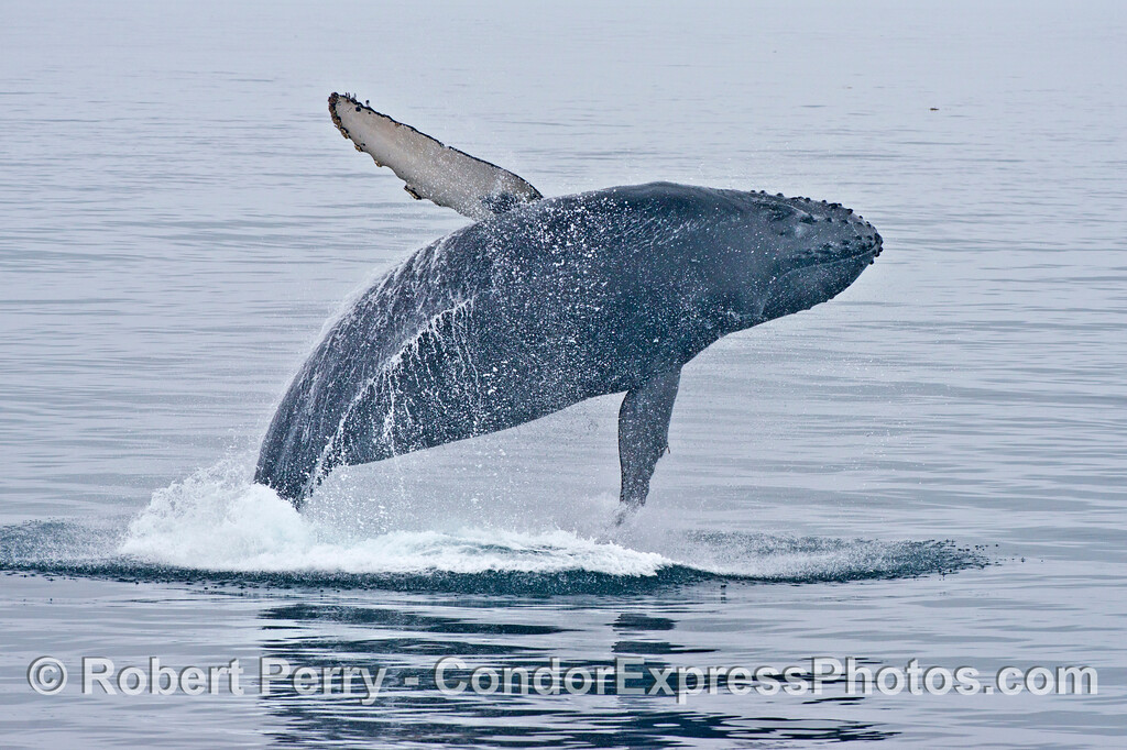 Breach sequence image 2 of 3:  This humpback whale (<em>Megaptera novaeangliae</em>) looks like a huge bird flying across the water with its big wings extended.