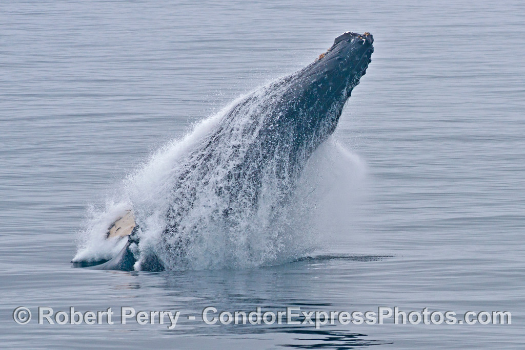 Breach sequence image 1 of 5:  A large adult humpback whale (<em>Megaptera novaeangliae</em>) erupts from the water at the start of a breach like a smoking projectile.