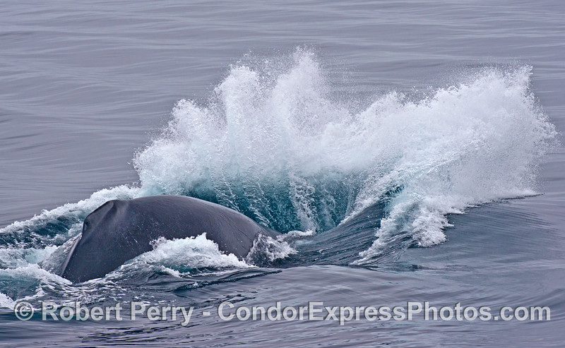"Image 1 of 2:  Here we see a humpback whale (<em>Megaptera novaeangliae</em>) that had been lying on the surface fairly motionless ""logging,"" then abruptly slammed its head down, dove and came right back up and breached."