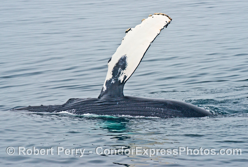 The huge left pectoral flipper of an adult humpback whale (<em>Megaptera novaeangliae</em>) waves in the air.