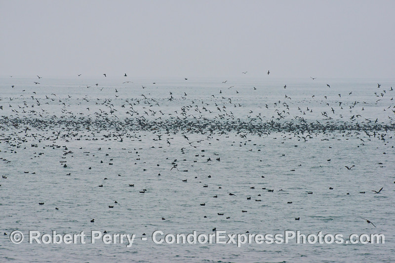 Masses of sooty shearwaters (<em>Puffinus griseus</em>).