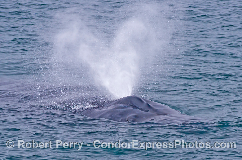 A close look at the spout of a humpback whale (<em>Megaptera novaeangliae</em>).