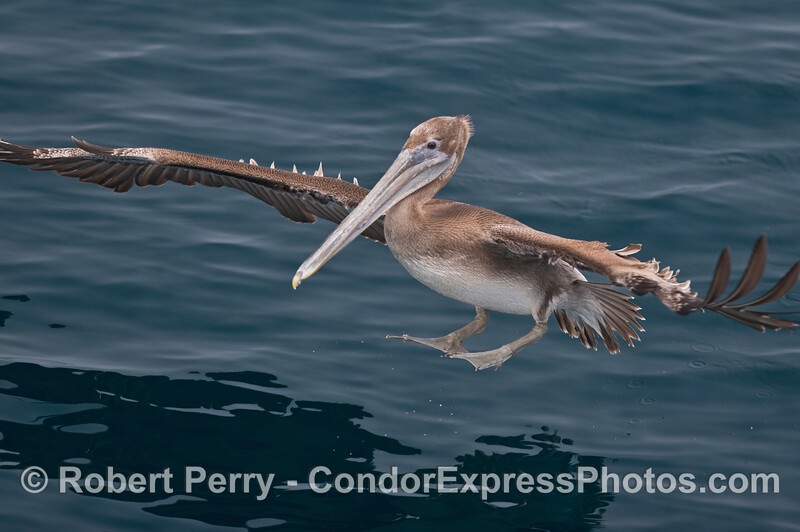 A brown pelican (<em>Pelecanus occidentalis</em>) comes in for a landing on glassy smooth water.