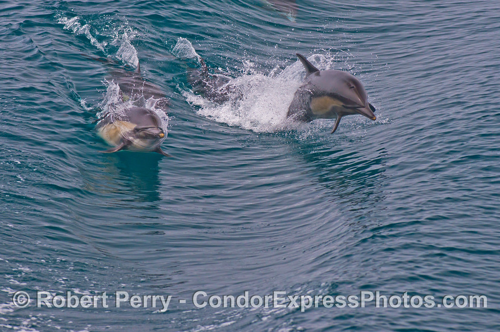 Two leaping common dolphins (<em>Delphinus capensis</em>).