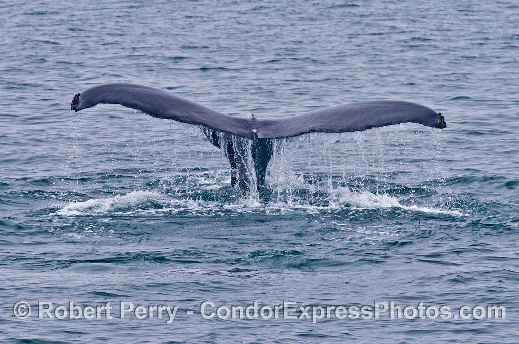 A humpback whale (<em>Megaptera novaeangliae</em>) tail fluke.