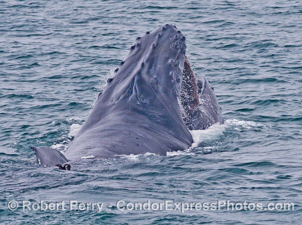 Water drips from the open mouth of this surface feeding humpback whale (<em>Megaptera novaeangliae</em>), seen from behind.
