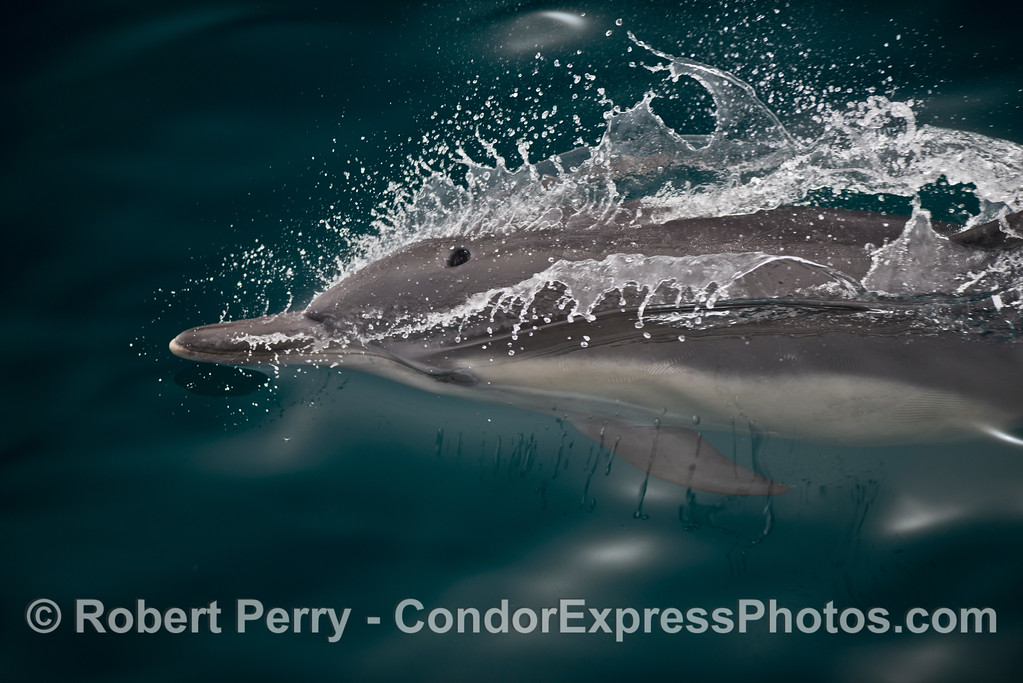A glimpse at a high speed common dolphin (<em>Delphinus capensis</em>) frozen by the high shutter speed in clear water.