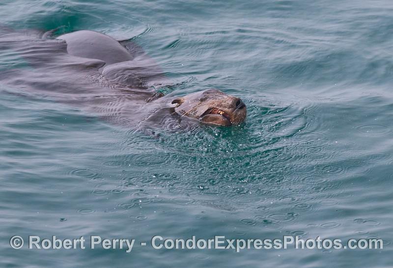 A California sea lion grins (<em>Zalophus californianus</em>).