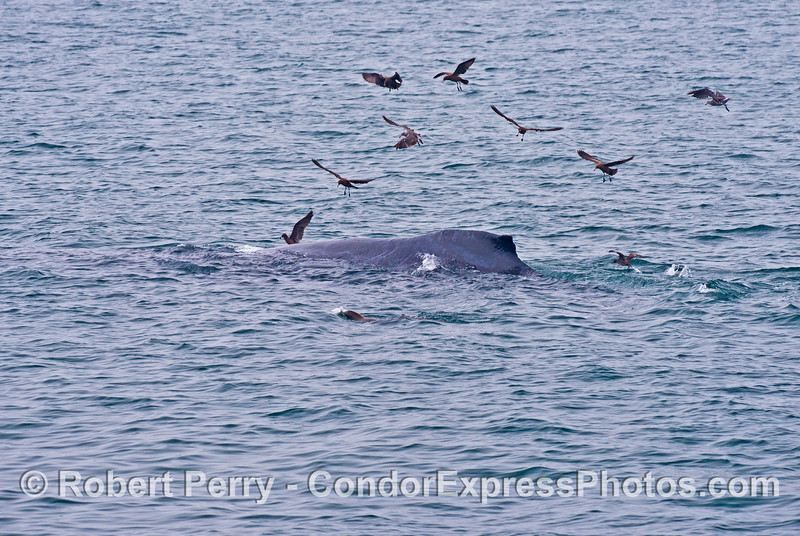 A humpback whale (<em>Megaptera novaeangliae</em>).  A group of sooty shearwaters (<em>Puffinus griseus</em>) fly overhead and a California sea lion (<em>Zalophus californianus</em>) swims alongside.