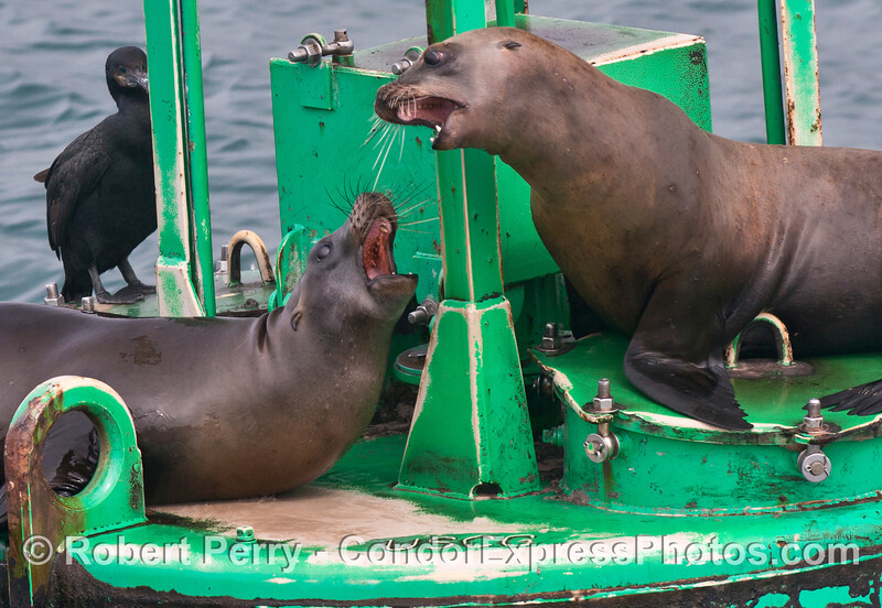 Two California sea lions (<em>Zalophus californianus</em>) jostle for real estate on the Santa Barbara Harbor entrance buoy.