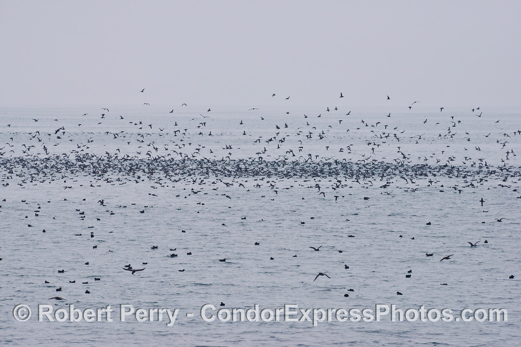 Masses of sooty shearwaters (Puffinus griseus).