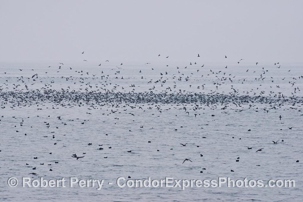 Masses of sooty shearwaters (<em>Puffinus griseus</em>).