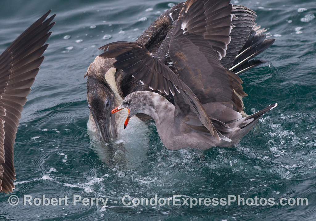 A brown pelican (Pelecanus occidentalis) with a pouch full of anchovies fights to keep its food as a hungry Heermann's gull (Larus heermanni) attacks.