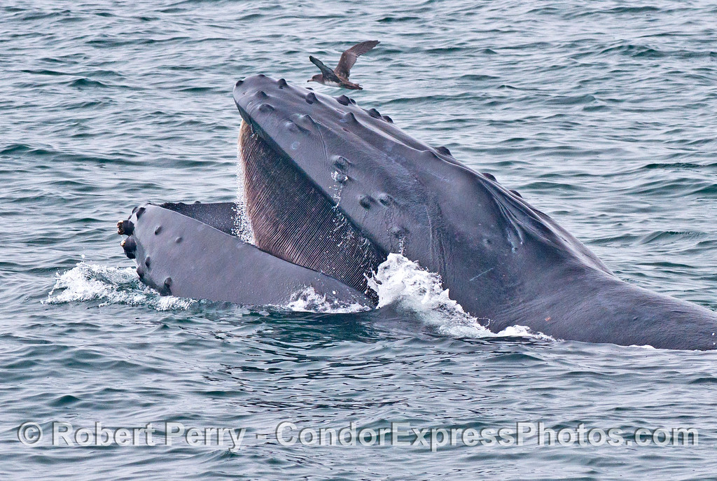 A side view of a surface feeding humpback whale (<em>Megaptera novaeangliae</em>) and its baleen.  A sooty shearwater (<em>Puffinus griseus</em>) flies in the background