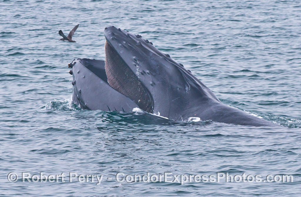 A side view of a surface feeding humpback whale (<em>Megaptera novaeangliae</em>) and its baleen.  A sooty shearwater (<em>Puffinus griseus</em>) flies in the background.