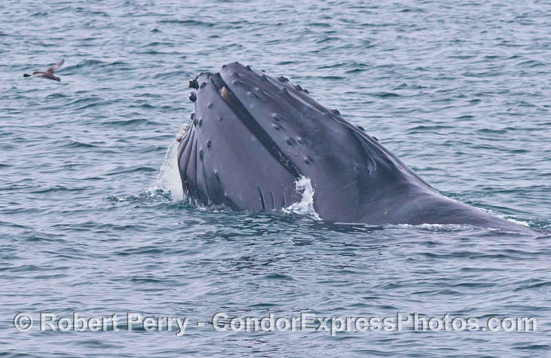 The mouth of this humpback whale (<em>Megaptera novaeangliae</em>) is closing up after taking in food and water.
