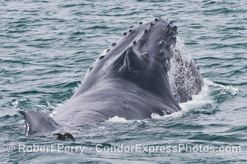 A feeding humpback whale (<em>Megaptera novaeangliae</em>) is captured in this image looking from the dorsal fin towards the knobby head.