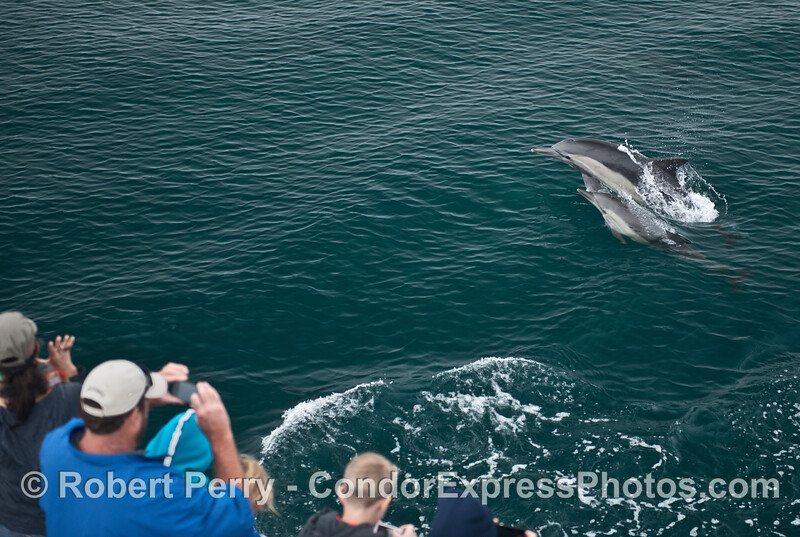 A couple of common dolphins (<em>Delphinus capensis</em>) visit the Condor Express.