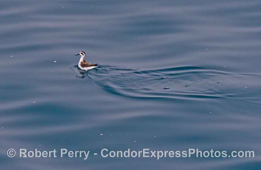 A tiny red necked phalarope (<em>Phalaropus lobatus</em>) looks for large plankton in the blue water.