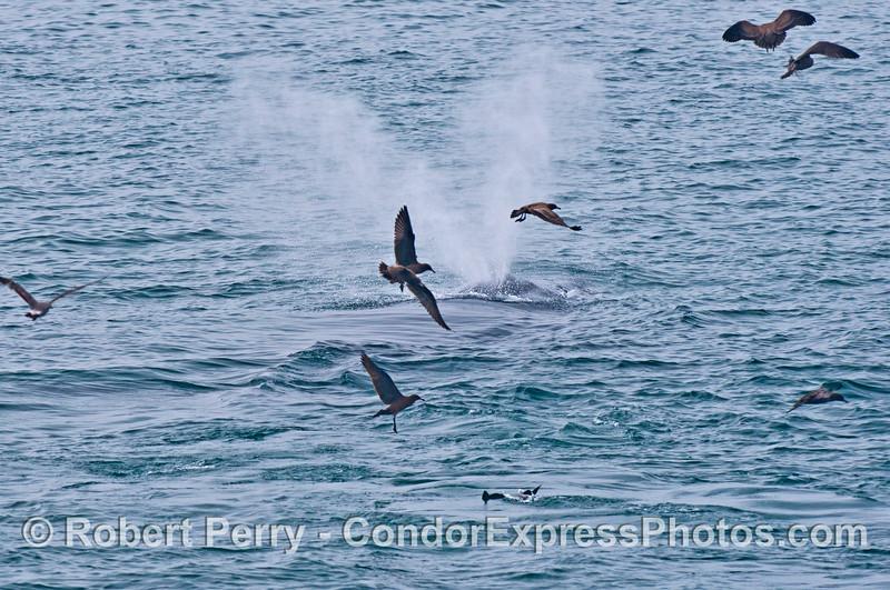 Sooty shearwaters (<em>Puffinus griseus</em>) circle around a humpback whale (<em>Megaptera novaeangliae</em>) as it spouts.
