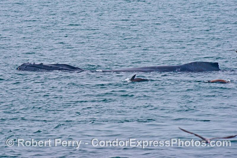 This humpback whale (<em>Megaptera novaeangliae</em>) appears ot have curvature of the back.  A few California sea lions humpback whale (<em>Zalophus californianus</em>) swim alongside.