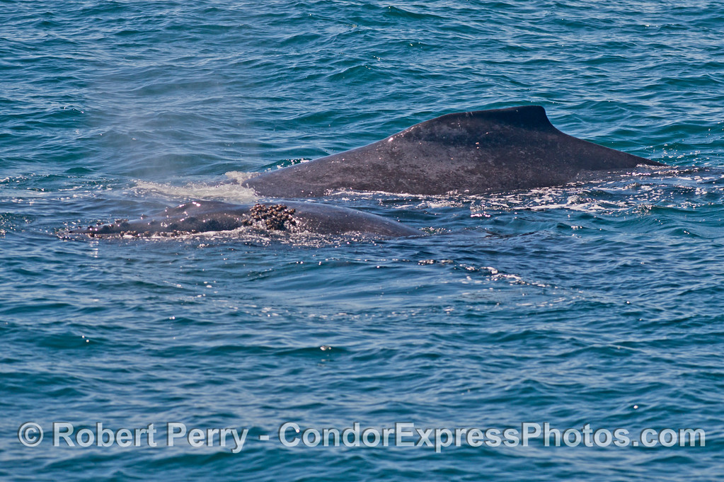 A humpback whale (<em>Megaptera novaeangliae</em>) calf (front) and its mother (back).