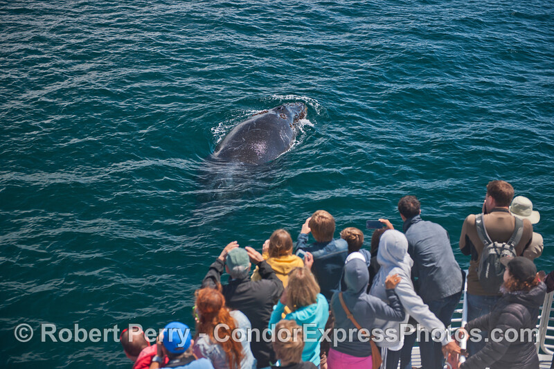 A friendly humpback whale (<em>Megaptera novaeangliae</em>) visits the Condor Express.
