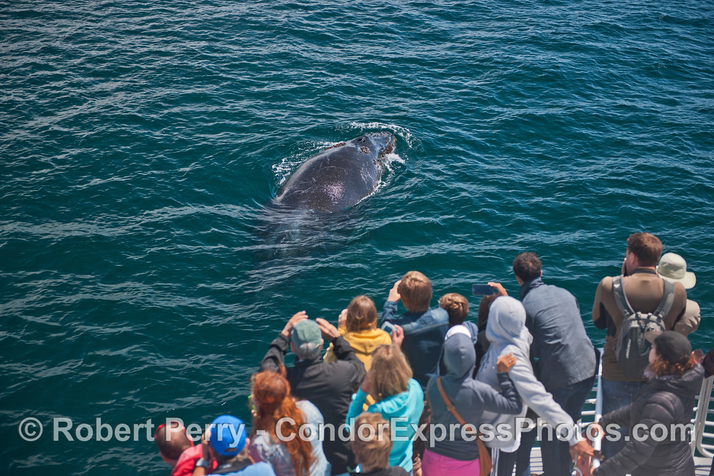 A friendly humpback whale (Megaptera novaeangliae) visits the Condor Express.