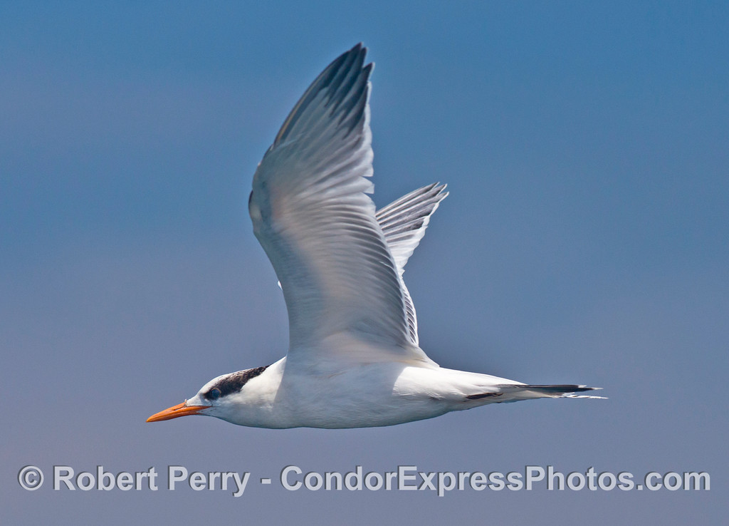 A close encounter with a small, vocal, fish eating bird - an elegant tern (<em>Sterna elegans</em>).