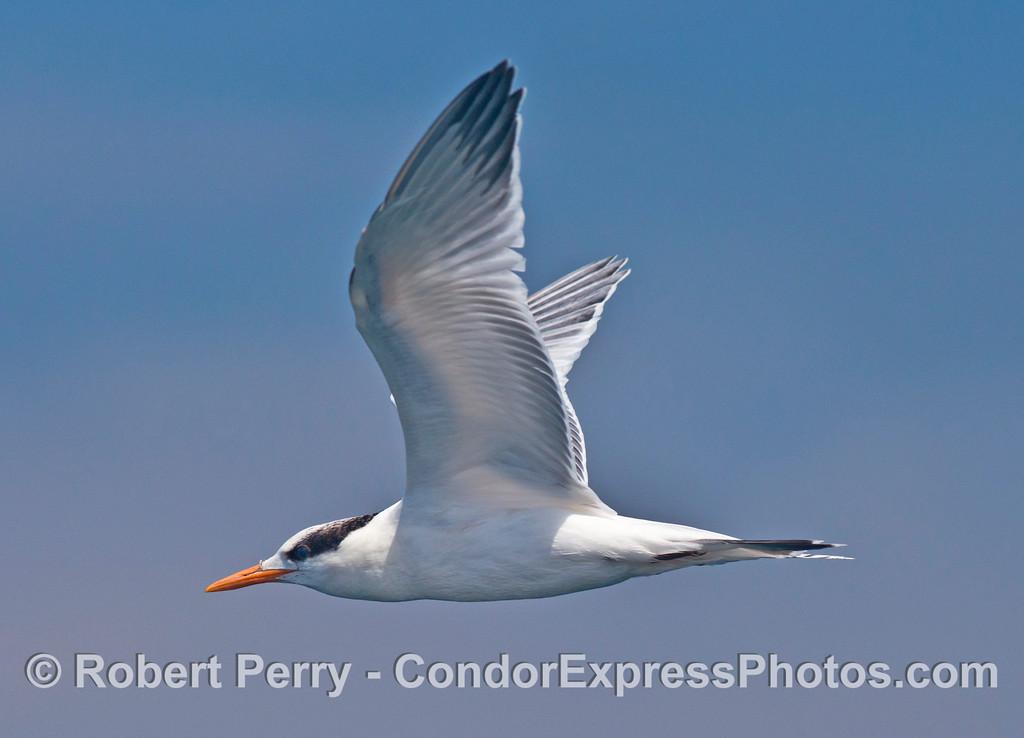 A close encounter with a small, vocal, fish eating bird - an elegant tern (<em>Sterna elegans</em>).
