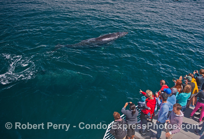 A friendly juvenile humpback whale (<em>Megaptera novaeangliae</em>) visits the Condor Express, and its mother can be seen below the surface closer to the boat.
