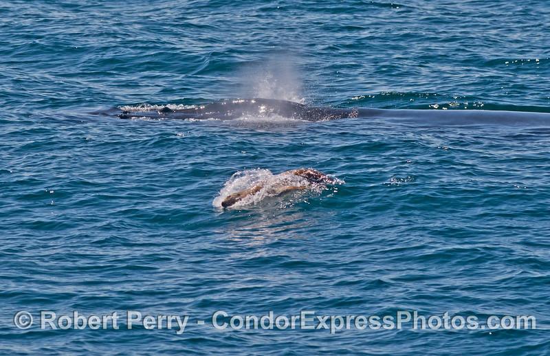 A humpback whale (<em>Megaptera novaeangliae</em>) gets pestered by a California sea lion (<em>Zalophus californianus</em>) that is seen body surfing a wave.