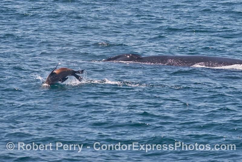 A humpback whale (<em>Megaptera novaeangliae</em>) gets pestered by a California sea lion (<em>Zalophus californianus</em>).