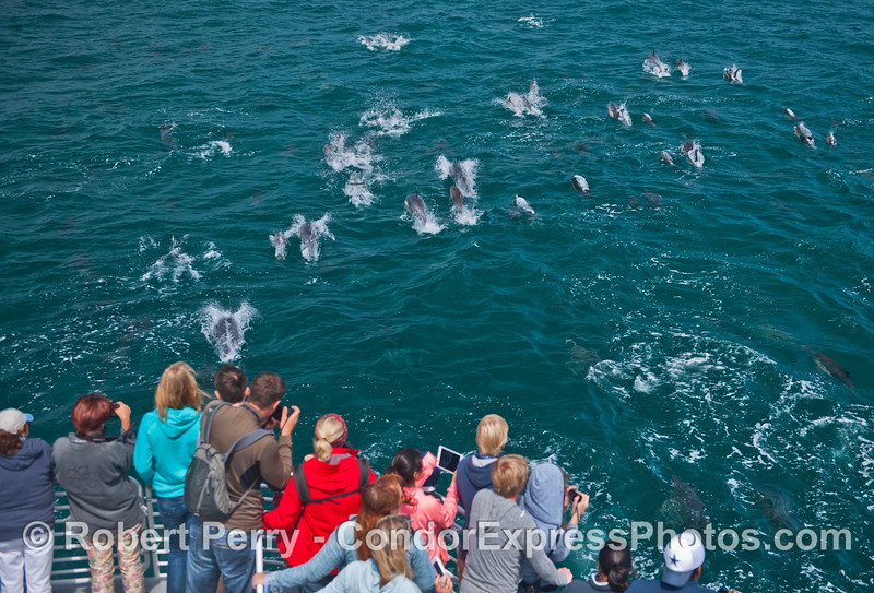 Lots of common dolphins (<em>Delphinus capensis</em>) entertain the humans.