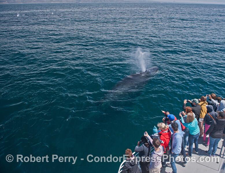 A friendly humpback whale (<em>Megaptera novaeangliae</em>) visits the Condor Express.
