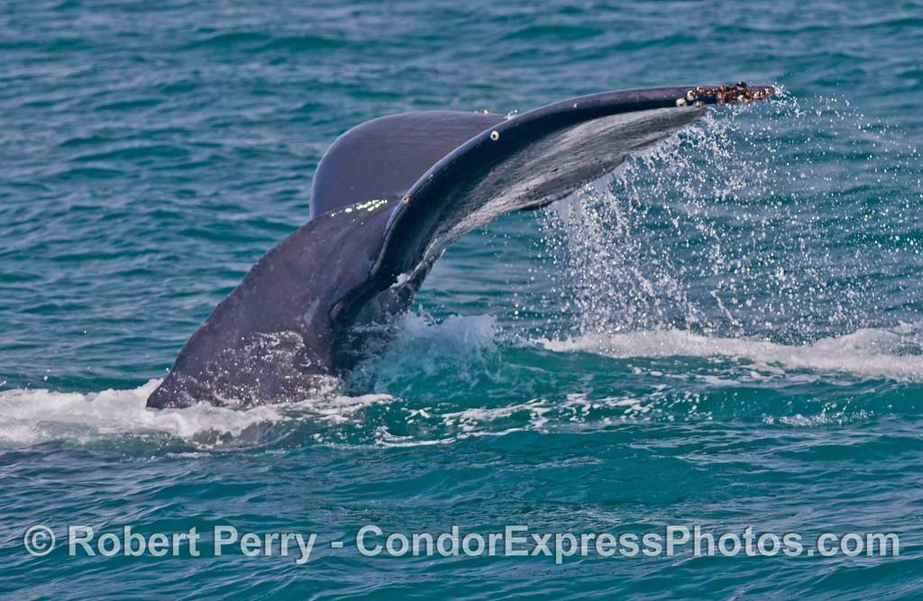 Tail flukes of a humpback whale (<em>Megaptera novaeangliae</em>)..