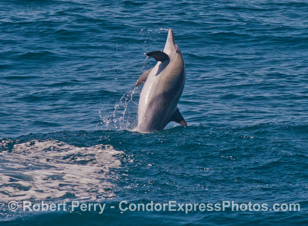 Leaping common dolphin (<em>Delphinus capensis</em>).
