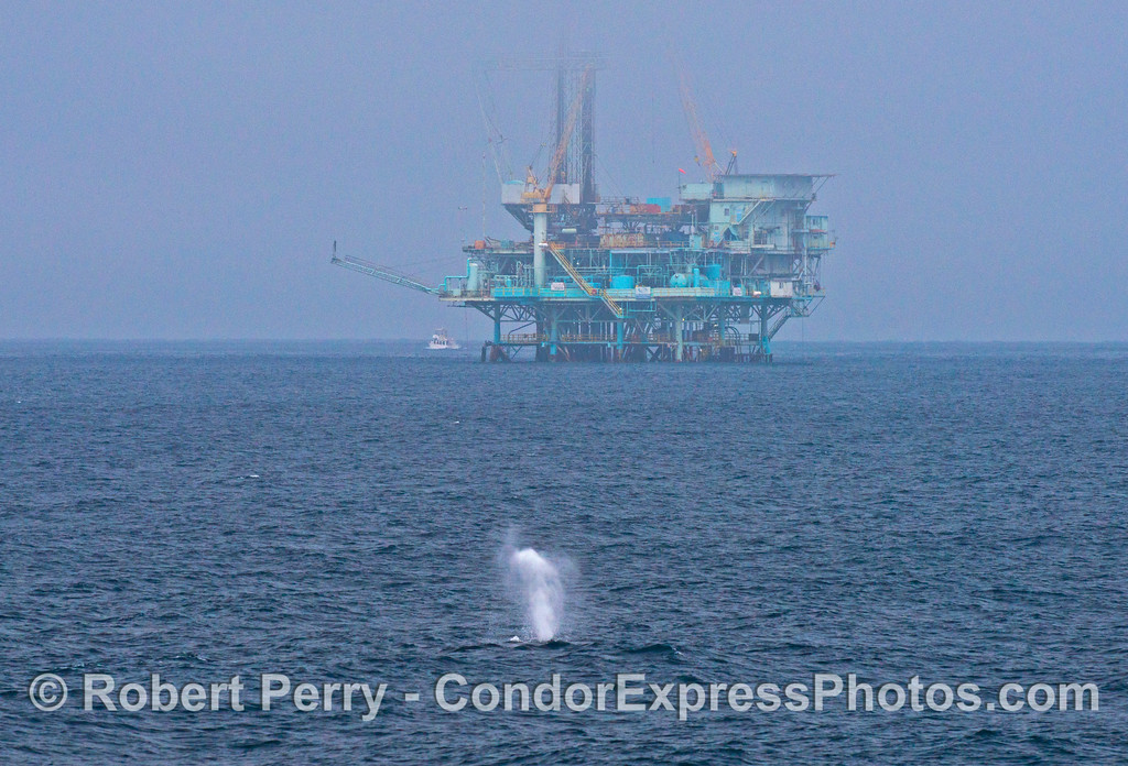 A humpback whale (<em>Megaptera novaeangliae</em>) spouts as it swims towards oil Platform Hillhouse in the Santa Barbara Channel.