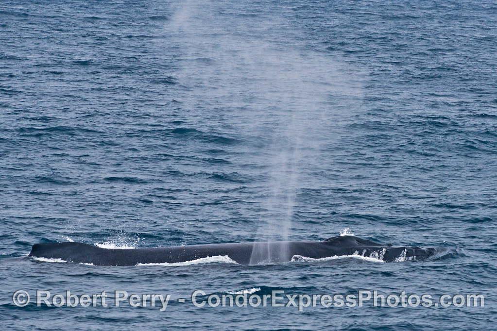 A large female humpback whale (<em>Megaptera novaeangliae</em>) spouts and creates an interesting spray pattern.